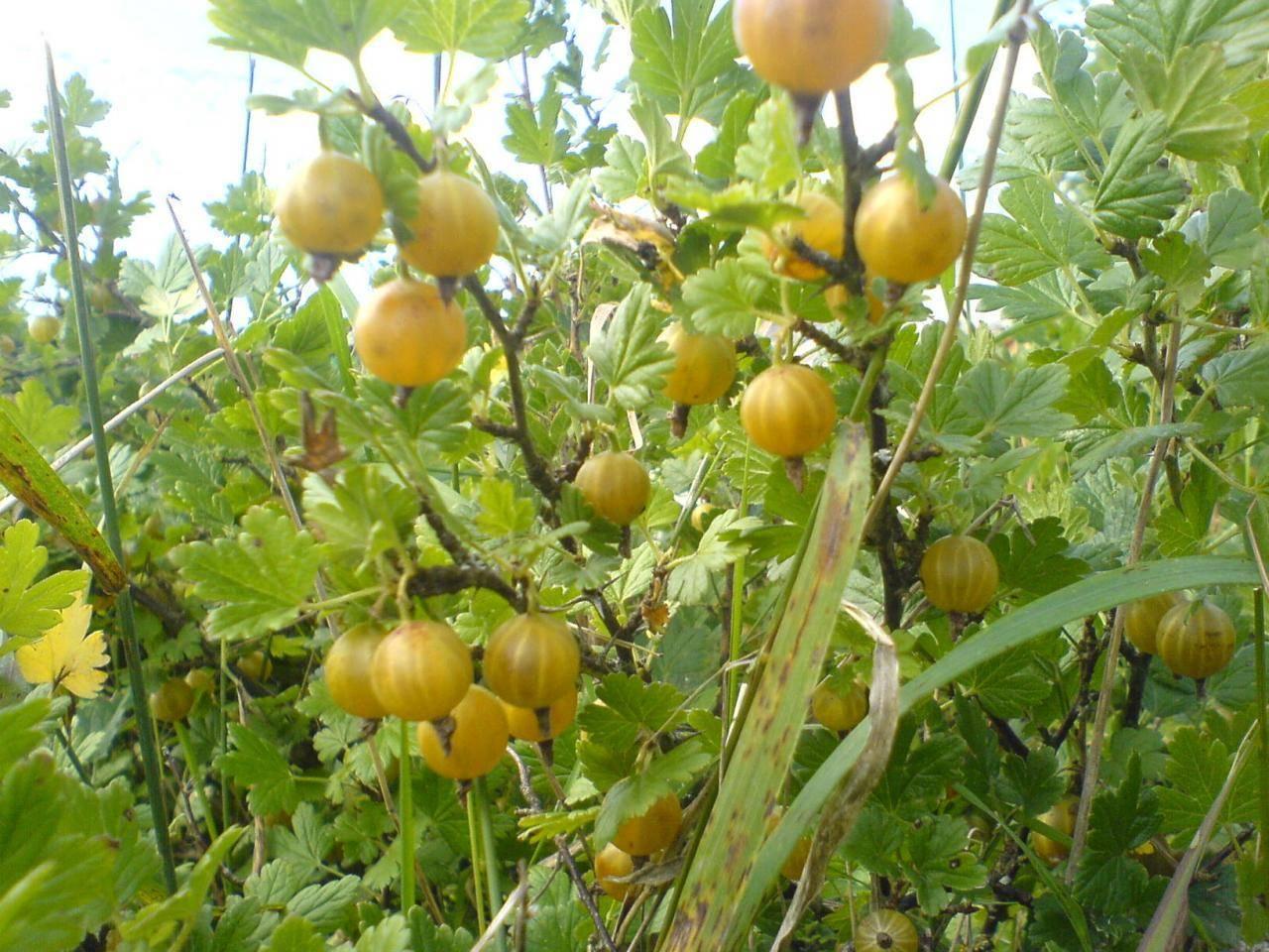 Лучшие сорта крыжовника для выращивания