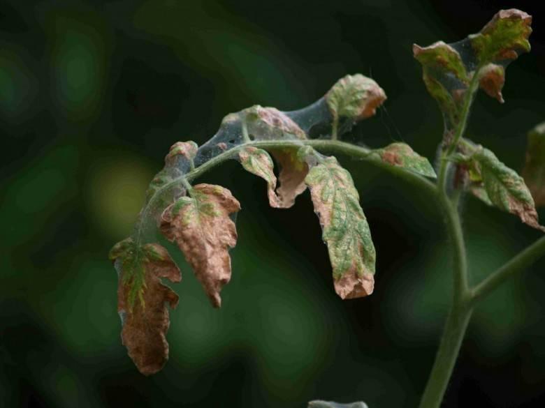 Вредители рассады помидор и лучшие способы борьбы с ними