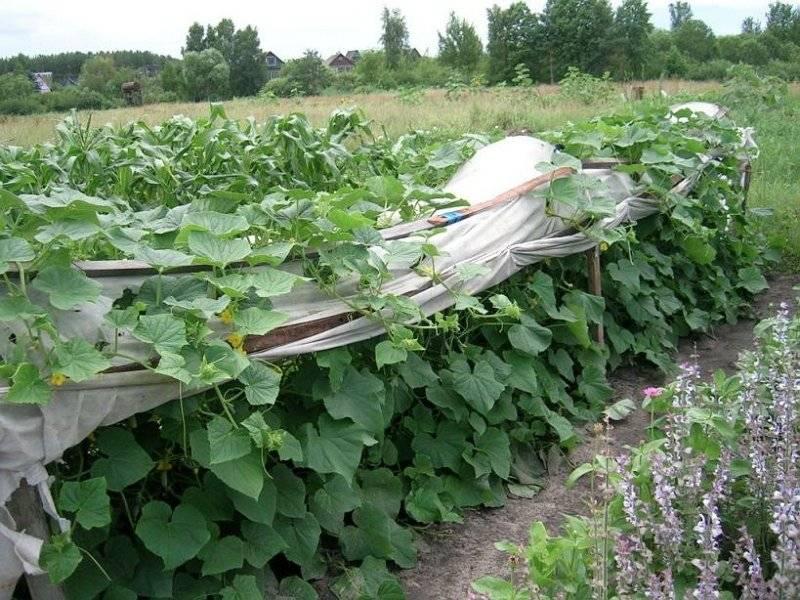 Как вырастить огурцы в открытом грунте: особенности посадки и ухода