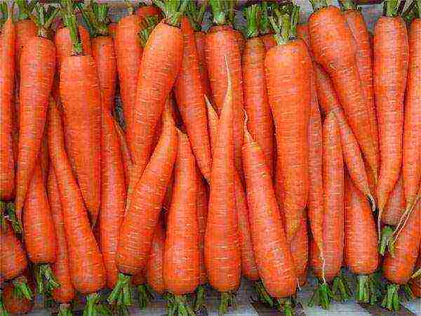 Посадка моркови под зиму. преимущества, сорта моркови, сроки посадки