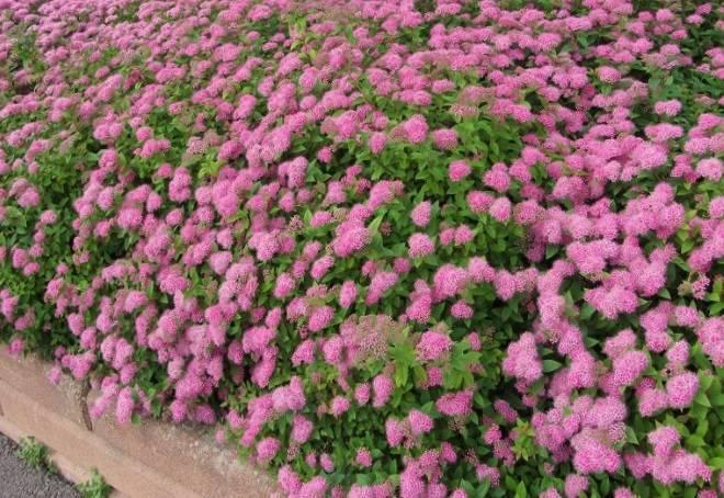 Кустарники для многолетней живой изгороди