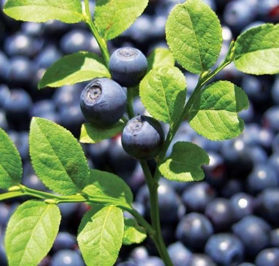 Черничное дерево: выращивание, фото