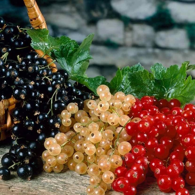 Черная смородина: посадка и уход, обрезка и размножение