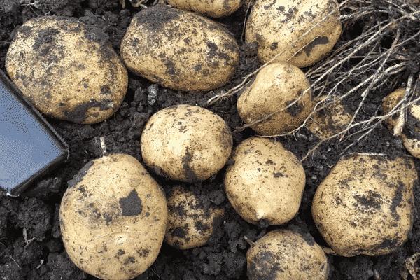 Картофель- сорт адретта - сад, огород - страна мам