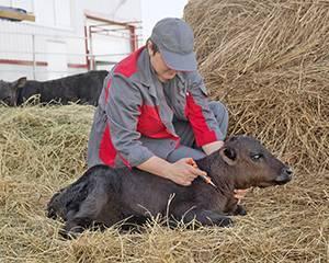 Вакцинация крупного рогатого скота: схемы и рекомендации. схемы вакцинаций коров