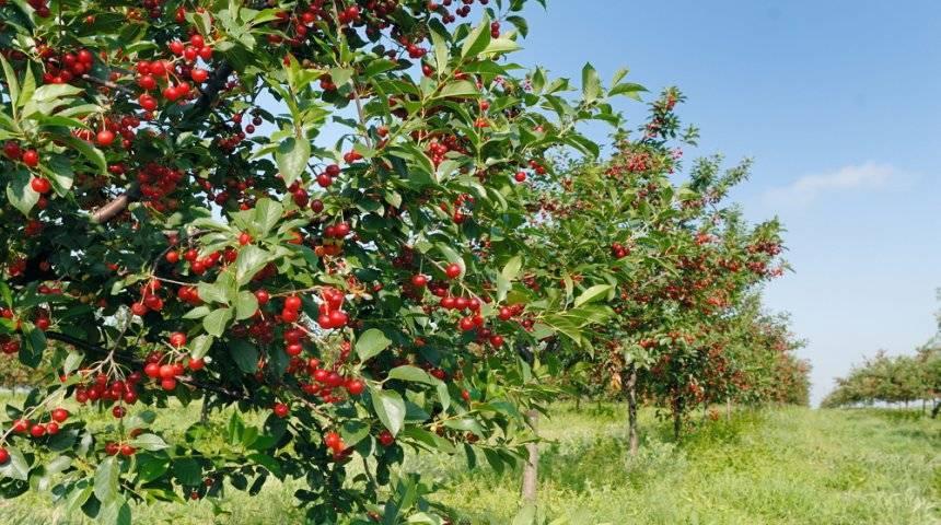 Описание вишни сорта «любская»: фото и отзывы
