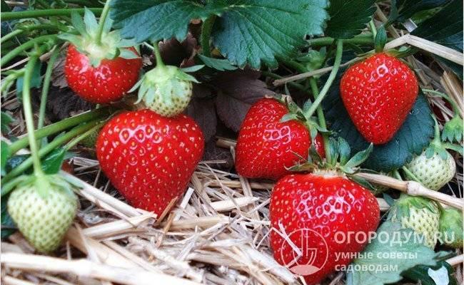 Яблоня уэлси: описание сорта, фото, отзывы садоводов