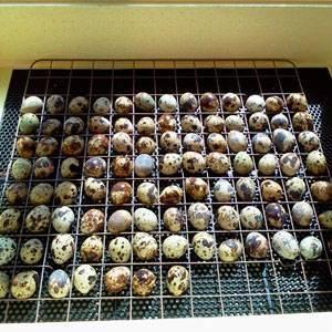 Инкубация перепелиных яиц в домашних условиях: режим и особенности процесса