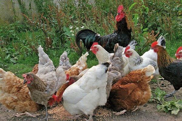 Какие существуют лучшие мясо-яичные породы кур?