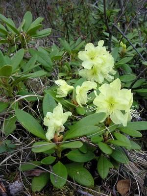 Рододендрон желтый лечебные свойства