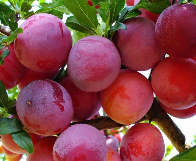 Слива красный шар: универсальный раннеспелый сорт