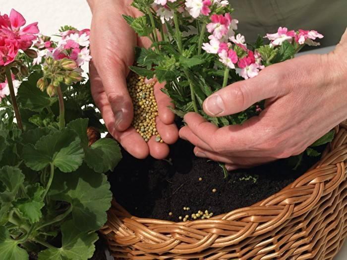 Чем подкормить хризантему чтобы зацвела?