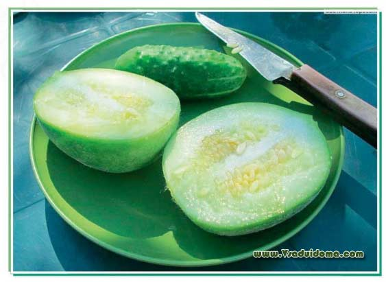 Огурдыня: выращивание и уход, чем полезна, как едят, отзывы, фото