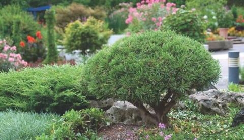 Сосна горная «мопс» (27 фото): описание сорта. использование в ландшафтном дизайне. посадка и уход в саду