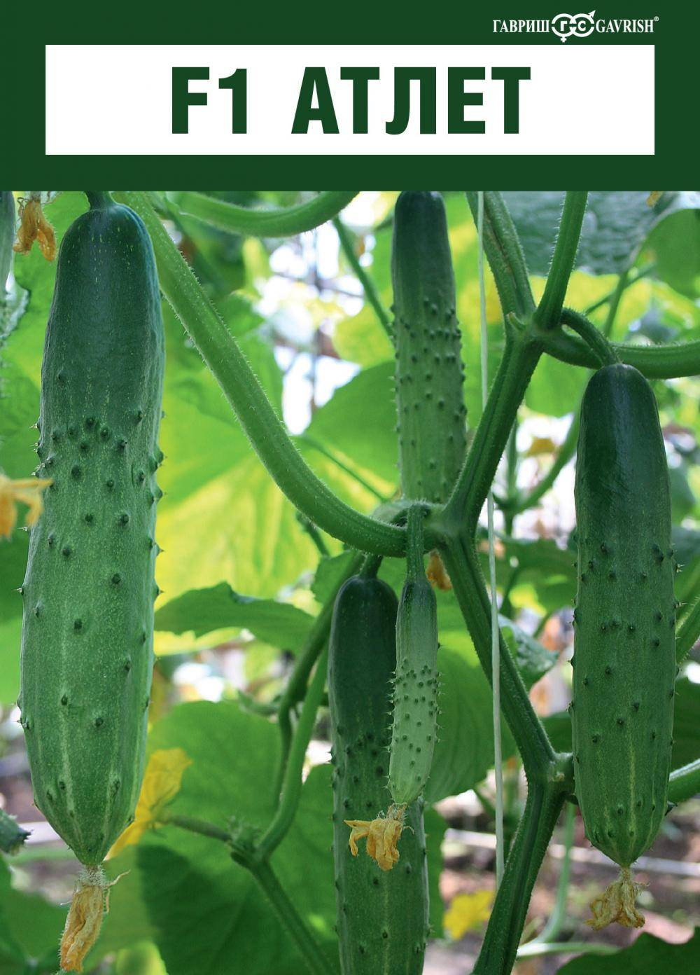 Лучшие сорта пчелоопыляемых огурцов: выращивание и уход