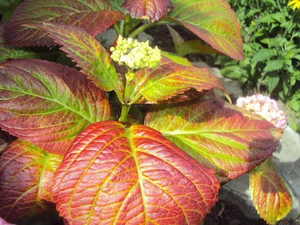 Покраснели листья у гортензии: почему краснеют, что делать