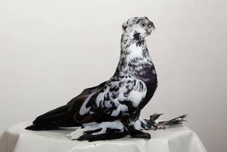 Сайт о голубях стандарты: узбекские двухчубые «летно-игровые» голуби | сайт о голубях