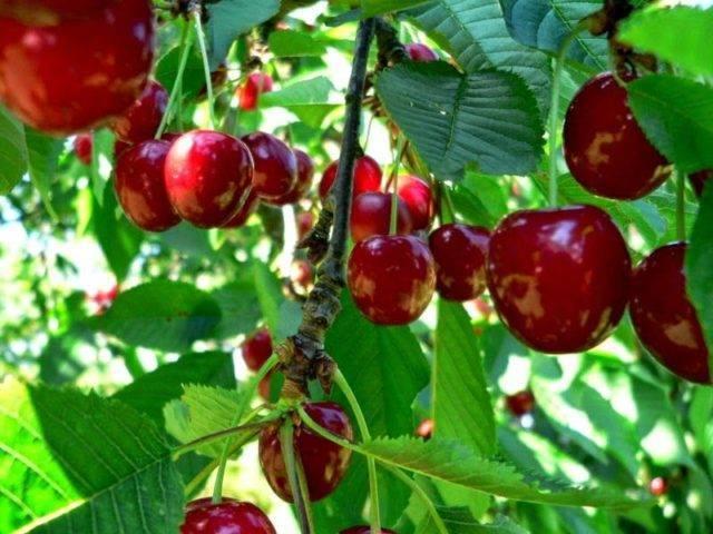 Распространенные болезни вишни: фото и лечение