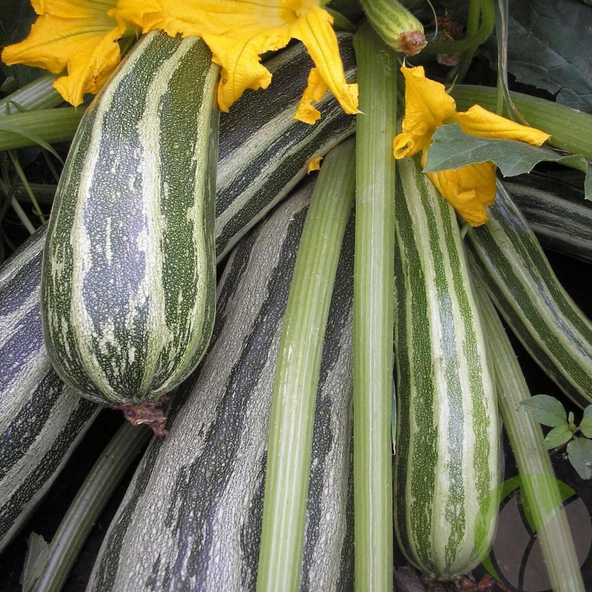 Кабачок чёрный красавец — вкусный и нежный овощ!