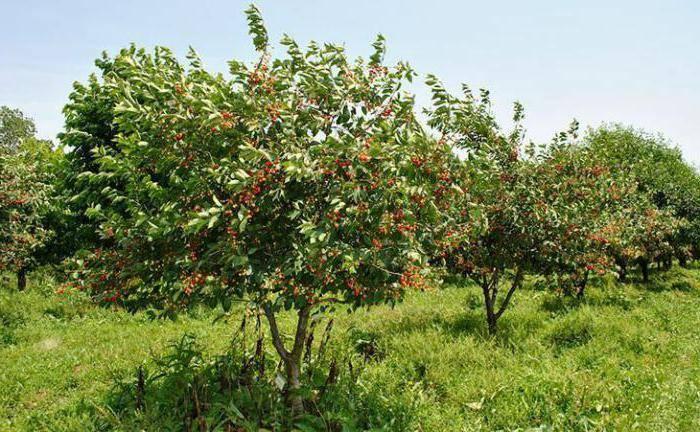 Фунгицид «хорус» для плодовых деревьев: инструкция по применению, описание