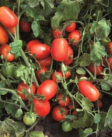 Здоровье от природы  » архив сайта   » томат адамово яблоко описание сорта фото