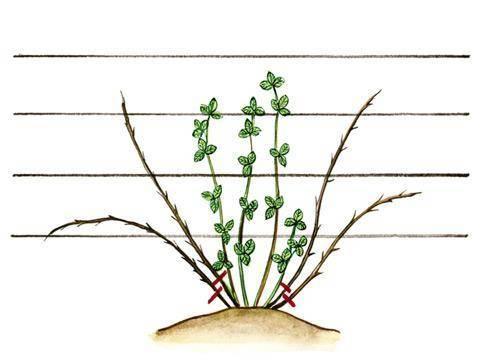 Как посадить и вырастить бесшипную ежевику на своем участке