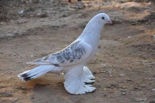 Голуби турецкая такла: содержание в голубятне