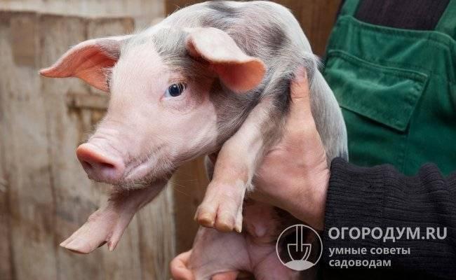Свиньи породы пьетрен: характеристика, описание, отзывы животноводов