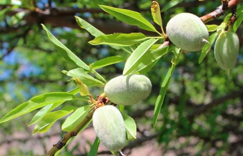 Вкусный и ароматный — миндаль «прибрежный». описание сорта, нюансы выращивания и борьбы с болезнями и вредителями