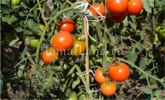 Сорт томата «альфа» — безрассадный, суперранний помидор, описание и характеристики