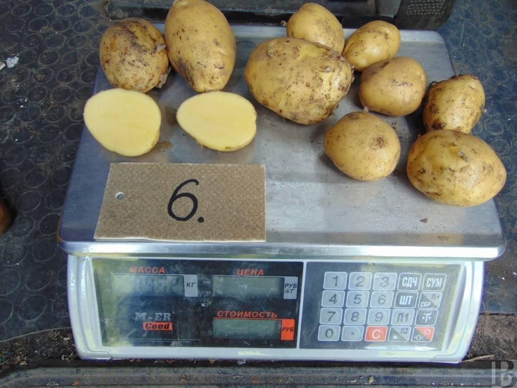 Картофель ласунок описание сорта, характеристика, фото