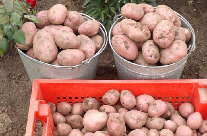 Описание сорта картофеля брянский деликатес