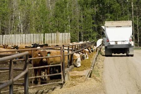 Беспривязное содержание коров плюсы и минусы технология оборудование - огородо