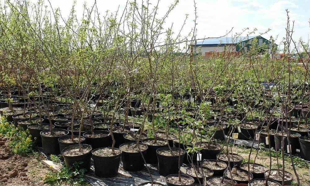 Пересадка плодовых деревьев осенью: сроки и подготовка места