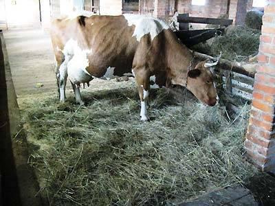 Почему у коровы горчит молоко: причины, что можно сделать 2020