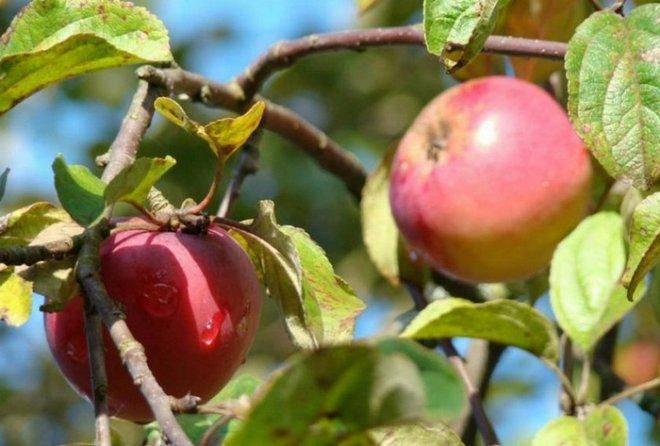 Китайка яблоня