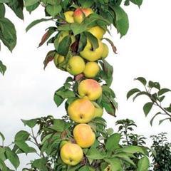 Яблоня колоновидная: посадка и уход, обрезка и сорта