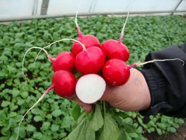 Редис «дуро краснодарское»: описание, агротехника