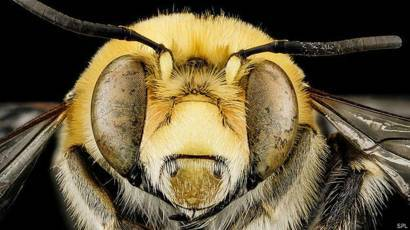 Укус пчелы, в чем опасность и как смягчить последствия укуса