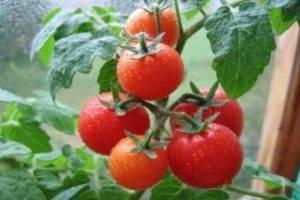 Подойдет для начинающих томат «хлыновский» f1: описание сорта, характеристика, урожайность помидоров
