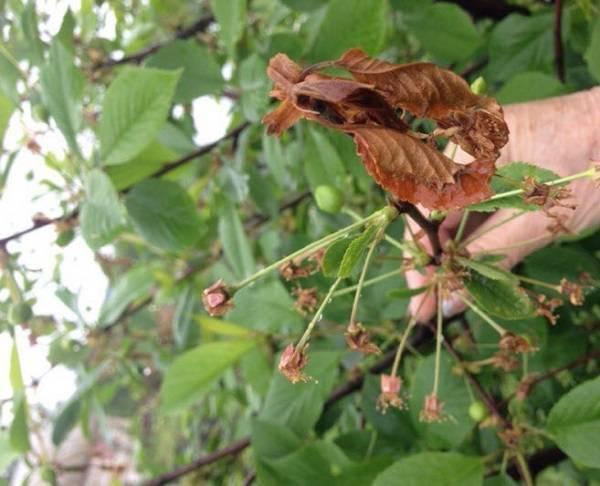 Почему засыхает черешня: неправильный уход, погода, вредители и болезни. что делать при засыхании черешни?
