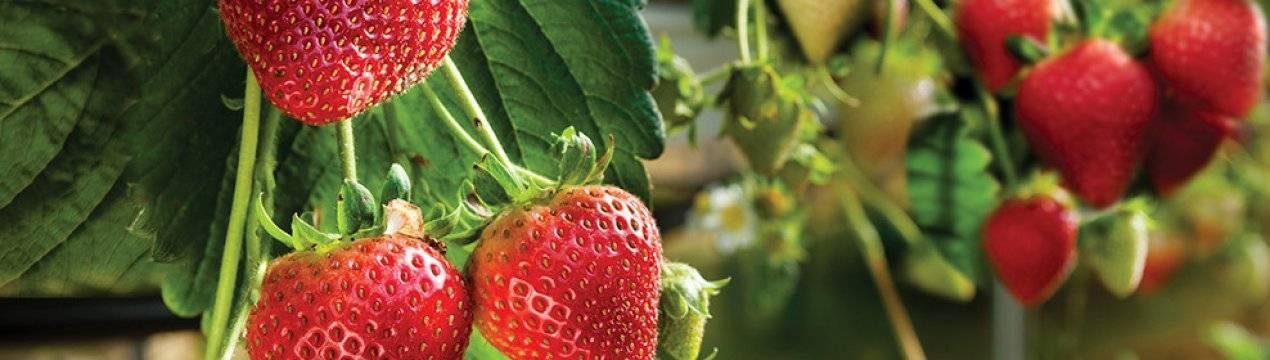 Клубника фейерверк: описание сорта, фото, отзывы садоводов