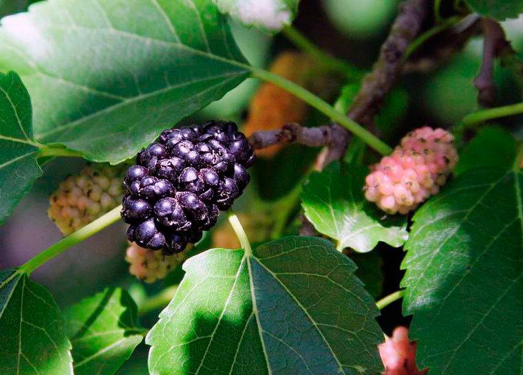 Как правильно выращивать черную шелковицу и особенности ухода за ней