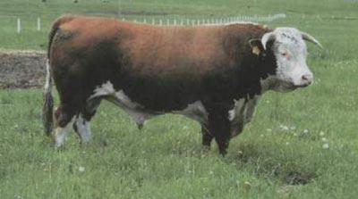Описание герефордской породы коров