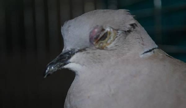Болезни голубей: симптомы, лечение, народными средствами, в домашних условиях, какие опасны для человека?
