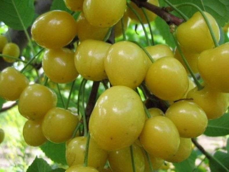 Черешня дрогана жёлтая: описание и характеристика сорта, выращивание и уход, фото
