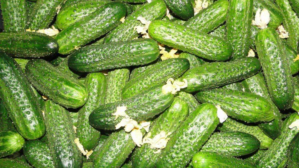 Какие сорта огурцов дадут лучший урожай при выращивании в открытом грунте?