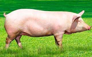 Разделка свиной туши: схема, правила и алгоритм действий