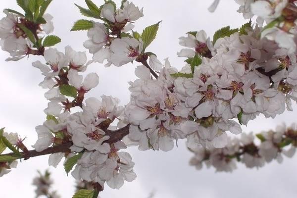 Обзор 10 лучших сортов войлочной вишни для подмосковья