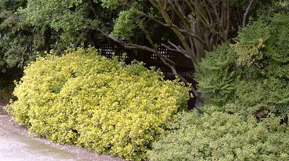 Бересклет европейский (50 фото): описание, «ред каскад» и другие сорта, использование кустарника бруслина в ландшафтном дизайне, посадка и уход